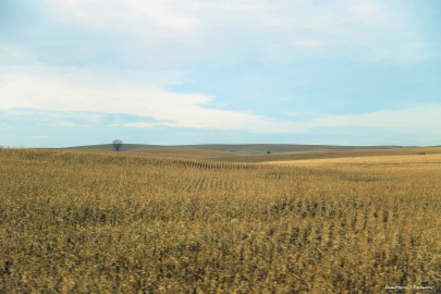 Corn waiting to be harvested