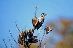 Beautiful Ladderbacked Woodpecker