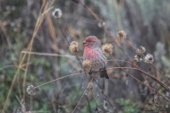 House finch eating seedheads