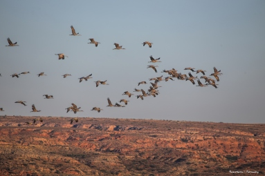 Cranes arriving in the late afternoon to roost, Pecos River escarpment in the background,