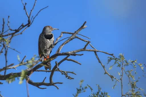 Northern Flicker warming up in the sun