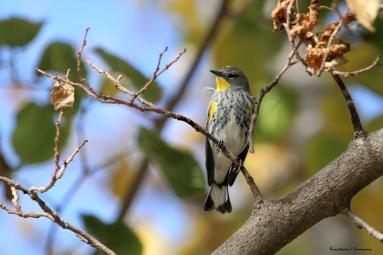 Yellow Rumped Warbler-Audubon sub-species