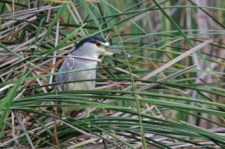 Black Crowned Night Heron skulking in the reeds