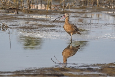 The long billed Curlew scolding the cats playing in the reeds.