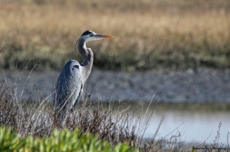 Great Blue Heron watching it's domain