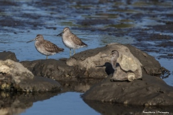 Long Billed Dowitchers resting