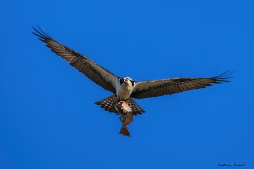 The resident Osprey