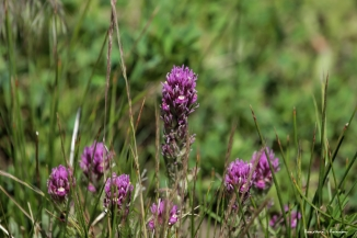 Purple Owl Clover