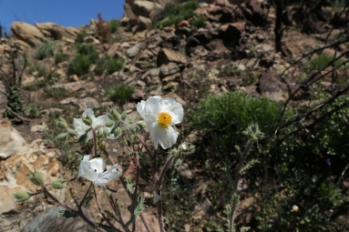 Prickly poppy on the hill