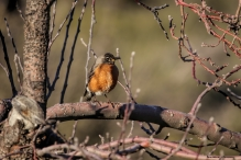 A returning Western Robin