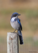 The mafia-California Scrub Jay