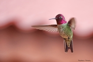 Mr. Anna's again, our most abundant hummingbird here.