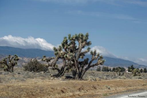 Joshua Trees along US 138