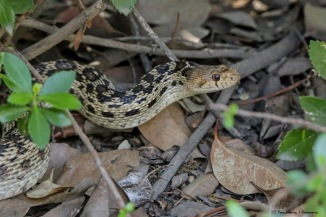 This lovely Gopher snake crossed my path and came to rest in the shade