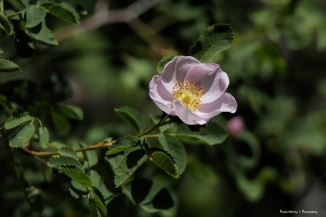 Wild roses in the campground