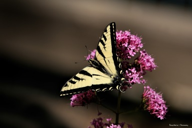 Beautiful butterfly-Around the Koi pond a single swallowtail spent the afternoon feeding