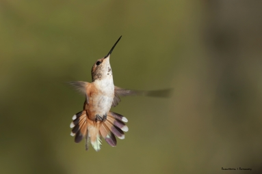 Allen's Hummingbird-Mrs.
