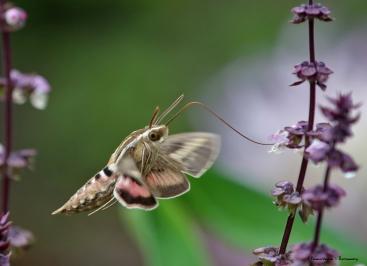 Sphinx moth feeding