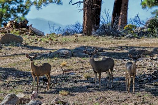 Some ladies and gents-Mule Deer