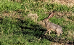 The Black Tailed Jack Rabbits, or Desert Hares come out early in the morning and late in the day to feed on the grass in the orchards