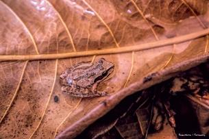 to tree frogs-Pseudacris cadaverina (California Chorus Frog, California Treefrog)