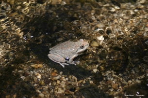 and interesting frogs in the arroyo