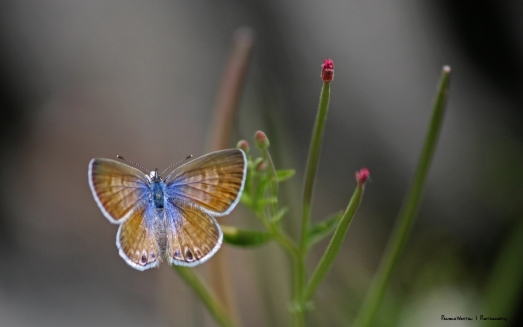 "One of the many""Blue"" Butterflies"