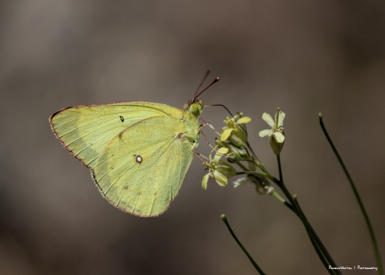 Clouded Sulphur(?) Southern Dogface(?)