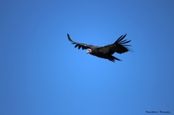 Adult California Condor