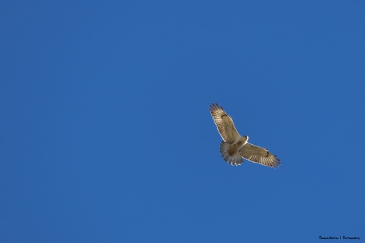 Ferruginous Hawk-pretty sure!