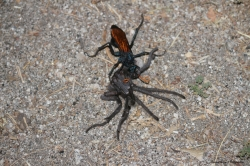 Tarantula Hawk taking a tarantula back to her burrow
