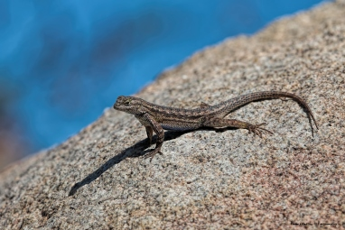 Common Side Blotch Lizard