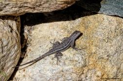 Common Side Blotch Lizard