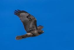 Darker Morph Redtail Hawk