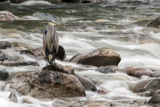 This Great Blue Heron stood so still I didn't see him at first. Ventured a longer exposure as he remained so quiet