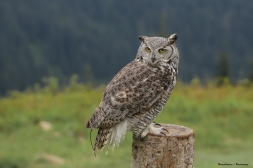The majestic Great Horned Owl