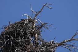 An Osprey in her nest