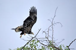 Just missed this juvenile Bald Eagle taking off