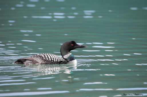 The Common Loon in breeding colours, not so common:)