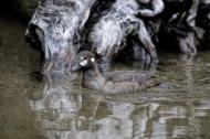 Harlequin Duck, the Mrs.