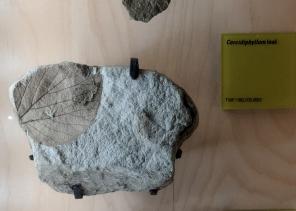 Beautiful plant fossils