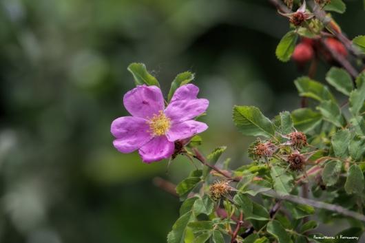 The Wild Rose-Alberta's Provincial Flower