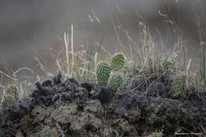 The farthest North Opuntias are found:) they were wee little cactus!