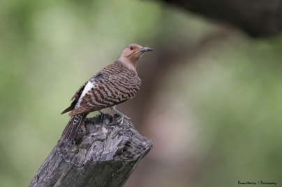 A Red Shafted Northern Flicker posed nicely on a tree trunk-Back Side