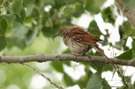 Eventually the Thrasher must have felt it had made it's point clear, don't climb my tree, stay away from my nest and she retreated to a branch for a shake, and a preen