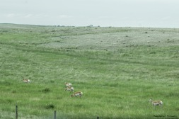 I wasn't kidding about the antelope playing;)