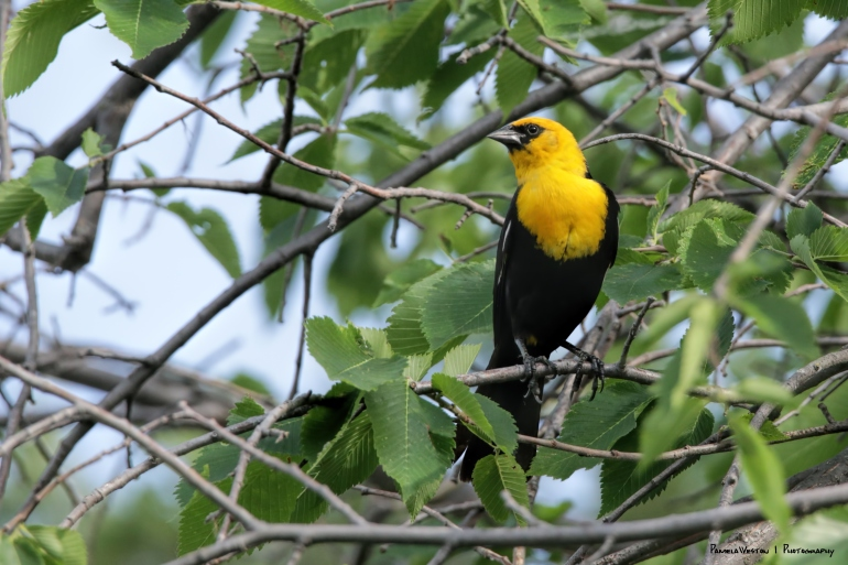 Yellow Headed Blackbird-I've only seen flocks far away in Arizona before this, their summer home;)