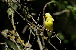 Goldfinch, he says he's Canadian